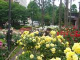 四季の香り公園 バラ園 3