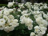 四季の香り公園 バラ園 4
