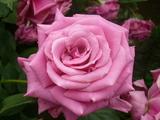 四季の香り公園 バラ園 5