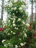 四季の香り公園 バラ園 8