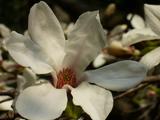 光が丘公園内 こぶしの花