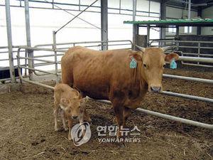 クローン牛 韓国