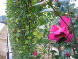 道路沿いの山茶花