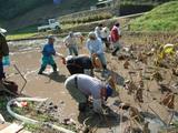 レンコン収穫