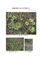 田面の植物  イチョウウキゴケ