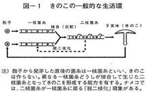 キノコのライフサイクル2