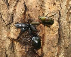 樹液に群がる甲虫