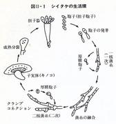 シイタケの生活環