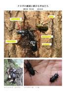 クヌギの樹液に群がる甲虫たち_1