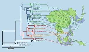 アジアに生息するヒラタクワガタ地域系統