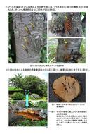 クビアカツヤカミキリ被害防止の手引(埼玉県)_07