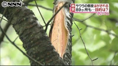 福岡で89か所もサクラの樹皮はがされる