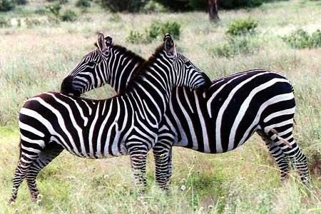 Zebra_Grant1