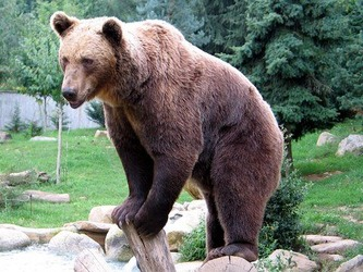 Ours_brun_parcanimalierpyrenees_1