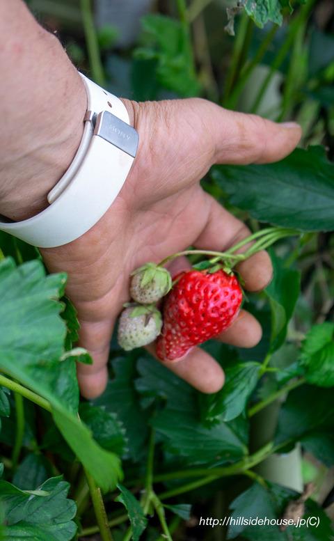 20190612_0212_erdbeeren