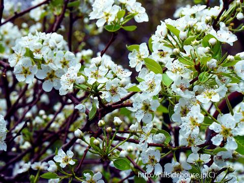 2018-04-06-Pirnen-Blüten