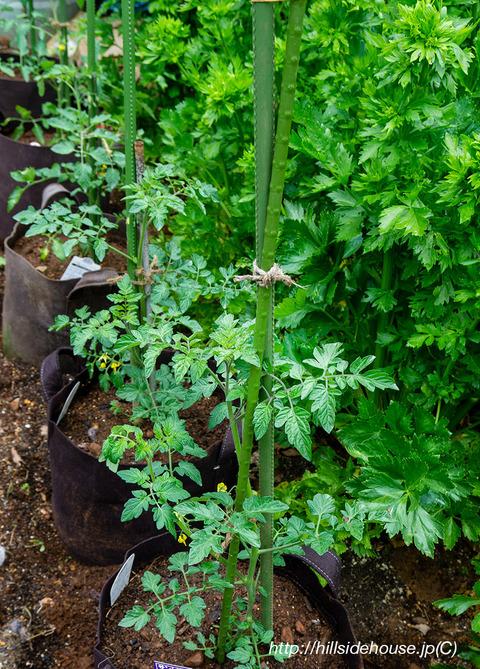 2019-05-19-Tomaten03
