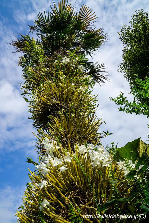 2019-05-16-orchideen-dendro02
