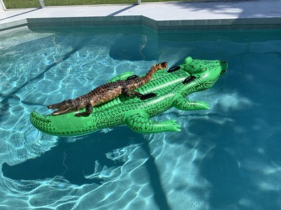 alligator_pool_float