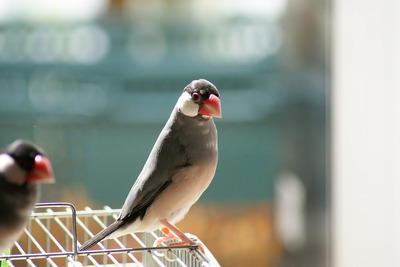 java-sparrow-2144887_960_720