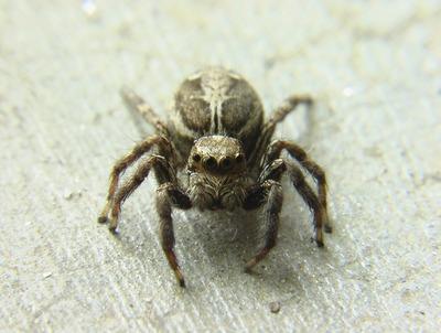 jumping-spider-2003361_960_720