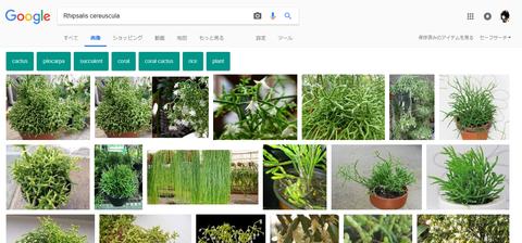 Rhipsalis cereuscula -