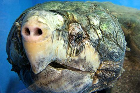 ワニガメの画像 p1_20