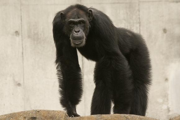 チンパンジーの画像 p1_18