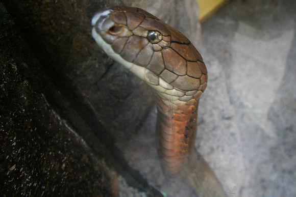キングコブラの画像 p1_34