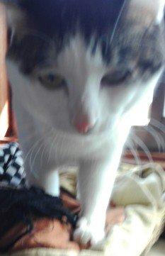 プチブロック飼い猫