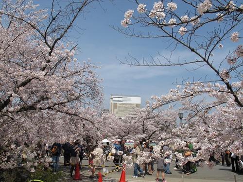 姫路城の桜満開