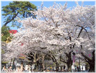 20100403 桜と松325himeko
