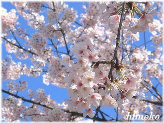 20100403 桜330himeko