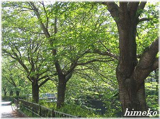 20100425 桜並木to330himeko