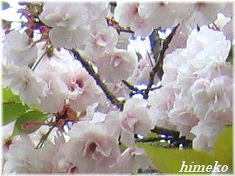 20100411 001桜アップto330himeko
