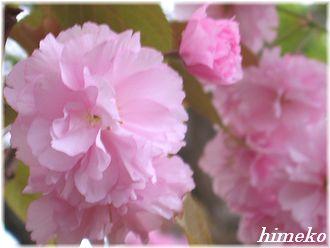 20100411 003桜アップ to330himeko