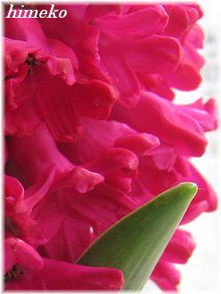 20100204 001 お花アップ 330himeko