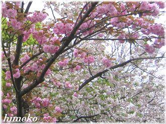20100411 002桜to330himeko