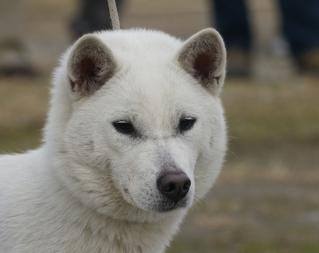 紀州犬の画像 p1_26