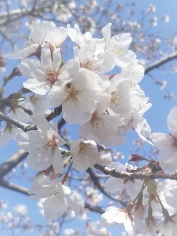 2021年3月大江川桜