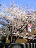 桜・大使館