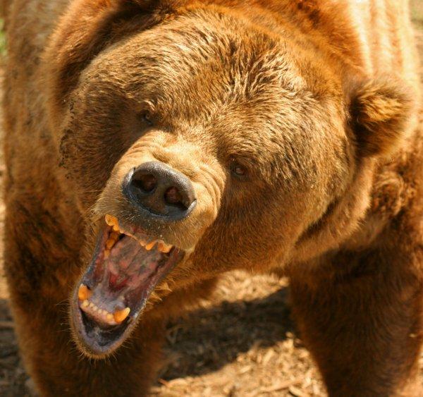 depositphotos_12855514-stock-photo-grizzly-bear