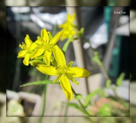 ひなちゅんの!なちゅらる日記-ミズナの花
