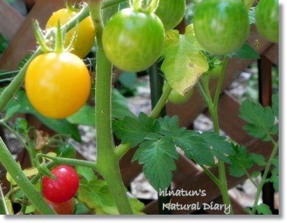 フルーツイエロー&皮のうすいミニトマト
