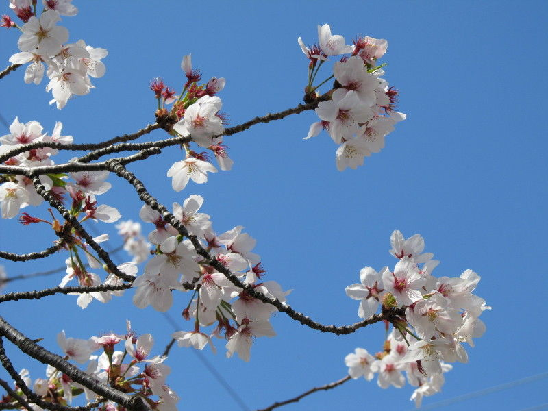 hinatunの!なちゅらる日記-桜2