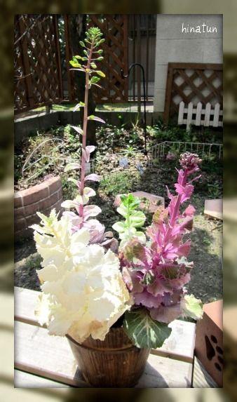 ひなちゅんの!なちゅらる日記-葉牡丹の寄せ植え