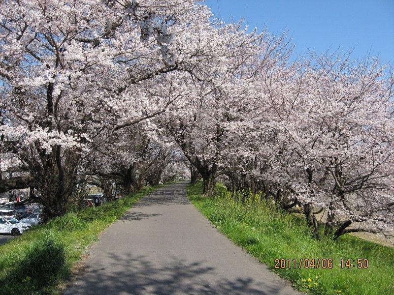 hinatunの!なちゅらる日記-桜の道