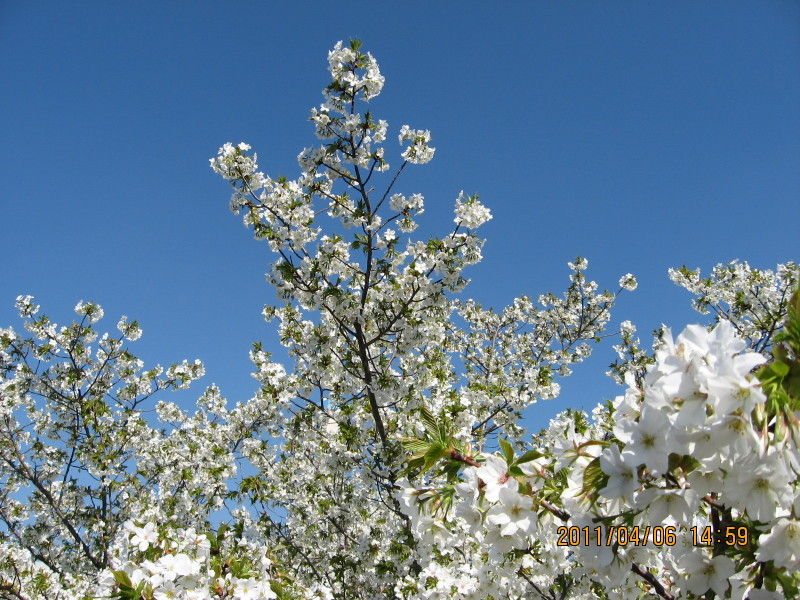 hinatunの!なちゅらる日記-白い桜