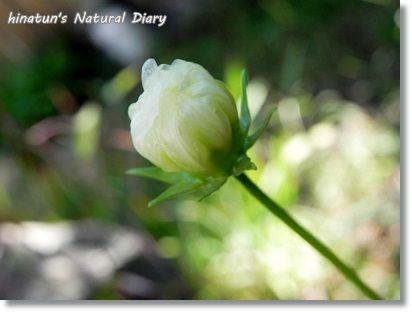 白秋桜のつぼみ