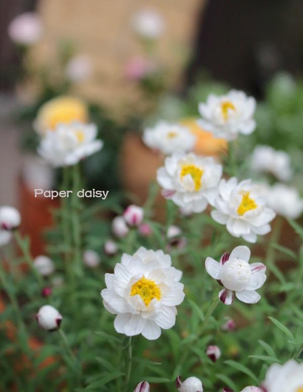 0313花かんざし_1600